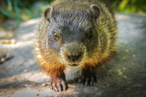 Wildlife Photography Fine Art Print Groundhog Portrait