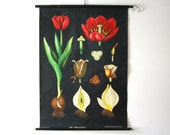 Vintage. Pull down chart. Jung Koch Quentell. Botanical. School. Science Poster Mid Century German DDR Educational Canvas Tulip flower (508)