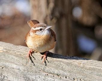 Carolina Wren, Nature Photography, Birds, Animal Photography, Perch, Fence, Songbirds, Fine Art