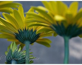 Macro Shot Yellow Gerbera Daisy