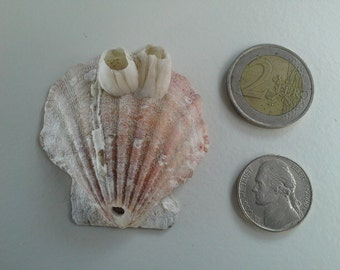 Drilled scallop natural sea shell with white barnacles
