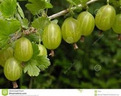 30% OFF, Root gooseberry, plant, bush, cuttings
