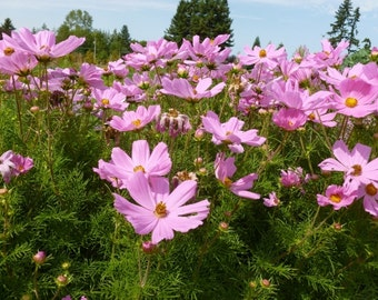 COSMOS Flowers Seeds -DWARF PINK - Tolerates poor, dry soil - Easy to grow Flowers