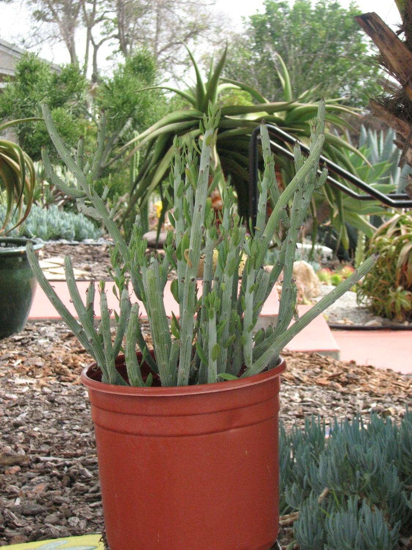 Seneccio Anteuphorbium Large Succulent Plant