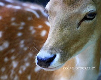 Nature Photography, Deer Photography, Animal Photography, Photography Wall Art, Home Decor