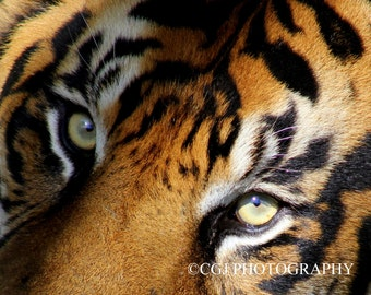 Tiger, giant tiger, wildlife, nature, eyes, wall art, home decor,