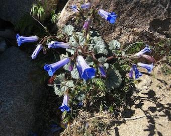 California Bluebells Seeds
