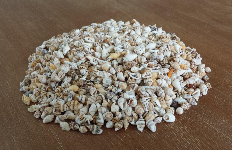 Tiny shells beach decor seashells shells craft shells for Tiny shells for crafts