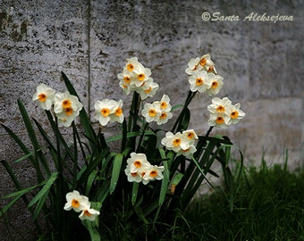 Daffodils, Fine Art Photography, Narcissus flower, Daffodil art, white flowers, home decor, wall art, flower photo print, floral decor, 8x10