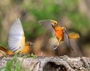 Female Baltimore Orioles Nature Pic| Birds in Action Flight Photo | Bird Watcher Gift | Avian Art Outdoor Wildlife | Fighting Birds Print