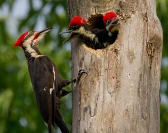 Pileated Woodpecker Chicks #5700