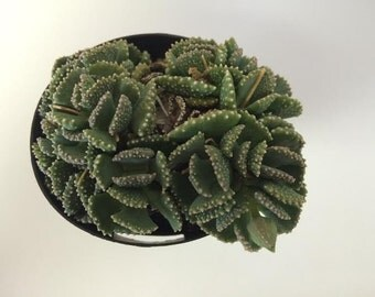 Small Succulent Plant Aloinopsis Malherbii. A unique and very captivating plant