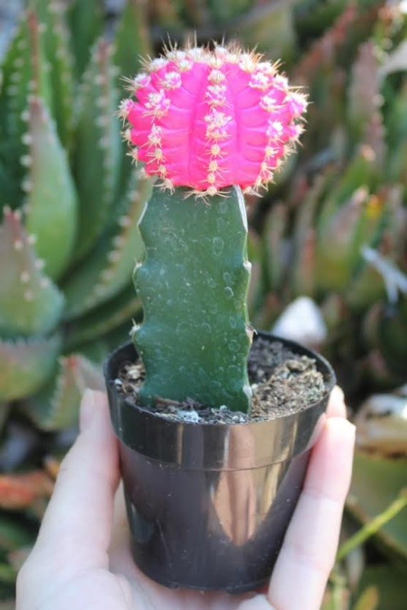 50 vibrant glow cactus for sale grafted cactus by Cactus pots for sale
