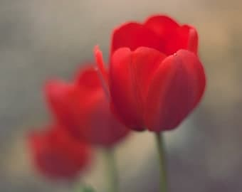 Red Tulip Blossoms, Fine Art Photography by Pitts Photography