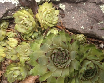 Hens and Chicks Succulent Clipping