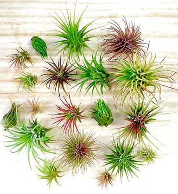 Discount 5 pack assorted tillandsia air plants by for Cheap air plants