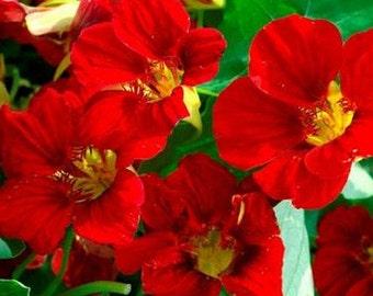 Nasturtium Mahogany Flower Seeds (Tropaeolum Majus) 20+Seeds