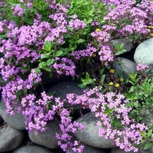 Rock soapwort rose pink flower seeds saponaria ocymoides for Perennial ground cover with pink flowers
