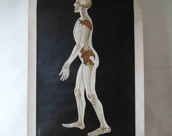 Vintage School Wall Pull Down Chart Map of the Mensch/Human Skeleton (Homo Sapiens) - Zoology, Biology, Animals, Anatomy Figure Form Man