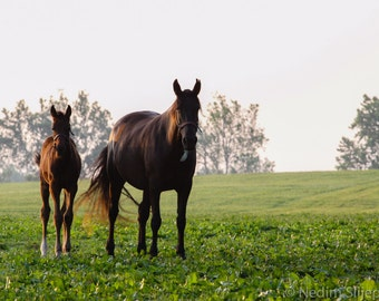 Mare and Foal Grazing, Horses on Thoroughbred Horse Farm in Heart of Bluegrass Kentucky. Landscape Equine Photo Art Print for Home Decor.