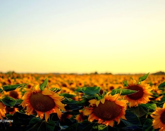 Sunflower Photography - Home Decor - Rustic Home Decor - Flower Photo - Nature Photograph - Sunflower Fields - 8x10 - 11x17 - 12x18