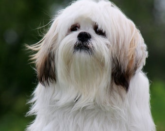 Lhaso Apso Notecards, FREE SHIPPING!