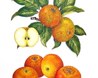 Apple Print - Egremont Russet Apples - Kitchen Decor - Wall Hanging - Vintage 1993 Book Page - 9 x 8