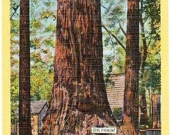Vintage California Postcard - The General Fremont Redwood Tree at Big Trees Park (Unused)