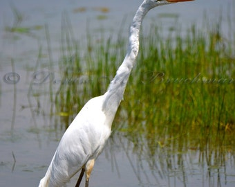 Great White Egret Wading Fine Art Photograph - White Egret Photos - Heron Photos - Photos White Egrets - Egrets Herons - Ridgefield NWR
