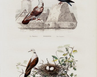 1848 Antique BIRD print. Lovely pigeon and wild dove on the nest with eggs, Fine hand colored victorian engraving.