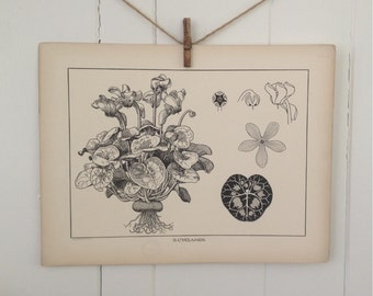Cyclamen-LARGE Vintage Plant Form Print-Book Plate-1903-Found in Dublin