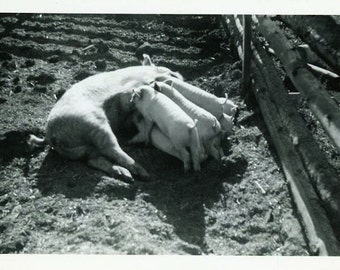 "Vintage Photo ""Piglet Buffet"" Pig Farm Snapshot Photo Old Antique Photo Black & White Photograph Found Photo Paper Ephemera Vernacular - 124"