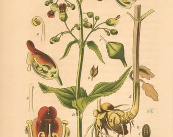 1884 Woodland or Common Figwort, Scrophularia nodosa Antique Lithograph