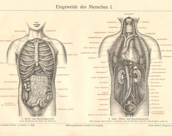 1908 Thoracic and Abdominal Organs, Intestines, Bowels of the Human Body Vintage Engraving Print