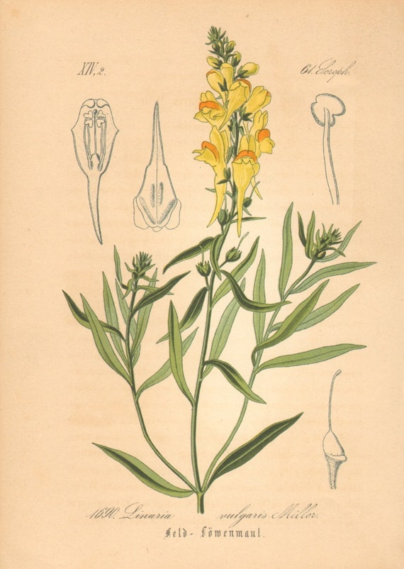 1884 Common or Yellow Toadflax, Linaria vulgaris Antique Lithograph