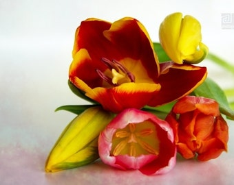 Tulip photography, Red tulips, Spring bouquet, Modern art, Bright colour tulips, Red and Yellow, Nature photography, Flower print