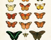 Vintage Butterfly Series 1 Print No. 1 - Giclee Canvas Art Print - Natural History Art - Wall Decor -Multiple Sizes Starting at USD 15.00+