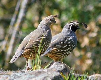 Love Birds, California Quail Art, Bird Photography, Woodland Decor, Wildlife Photography, Fine Art Photo Print