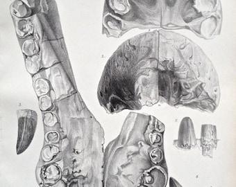 Antique print crocodile fossil Goniopholis Purbeck 1870s biology palaeontology nature lithograph