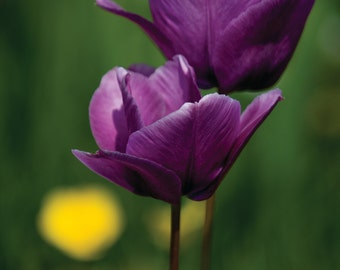 Tulip - Winchelsea Beach photo greetings card giclee mounted glossy print