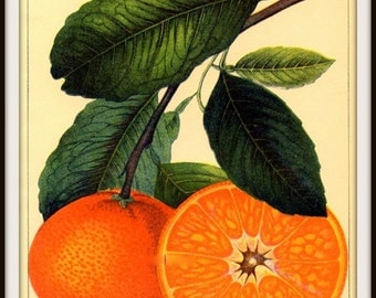 Kitchen Art Satsuma Orange Victorian 1800s - Print