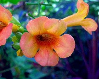 """Indian Summer Trumpet Vine Plant - Campsis - 2.5""""  Pot"""