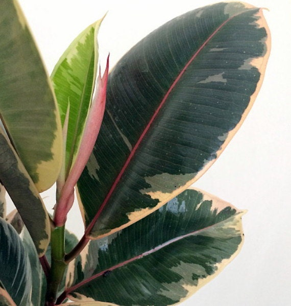 Tineke Rubber Tree Plant Ficus New Yet Very Old 4
