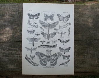 1904 - Butterflies Lithograph - Beautiful B&W Plate from Encyclopedia Britannica - Vintage Butterfly Print - Antique Print with Great Detail