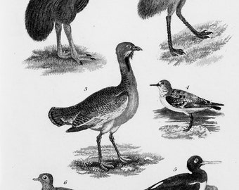 Emu, Cassowary, Bustard Birds. Small 1833 Antique Black and White Print or Engraving