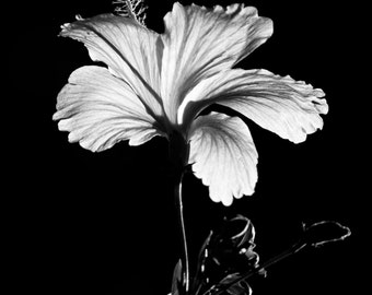 Black and White Hibiscus Flower photography floral nature 8x10 8x12 fine art photography spring flowers