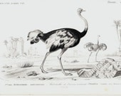 1849 Antique OSTRICH engraving, elegant 164 years old nice print.
