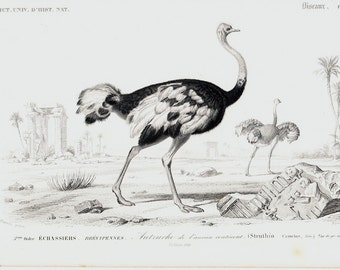 1849 Antique OSTRICH engraving, elegant 164 years old nice print.