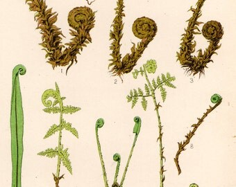 Antique FERN Print 1908 Heath Botanical Chromolithograph FRONDS UNROLLING
