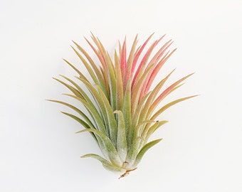 "Tillandsia Air Plants "" Ionantha Ionantha  L""  by Joinflower Joinfolia"